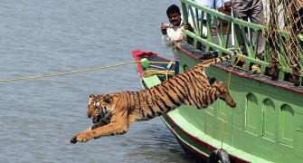 'Tiger populations have boomed'
