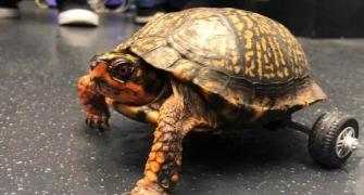 Turtle who lost both back legs gets rolling!