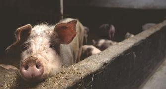 New swine flu with pandemic potential found in China