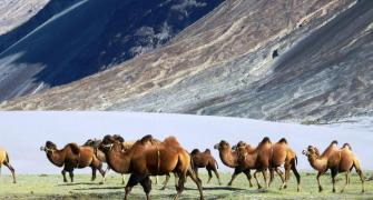 Double hump camel to help Army patrol China border