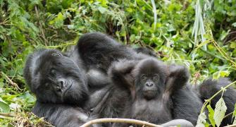 2 gorillas at US zoo test positive for COVID-19