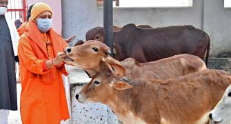 UP: Oximeters, thermal scanners for cows in gaushalas