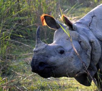 Poachers kill rhino in Kaziranga; 4th this month
