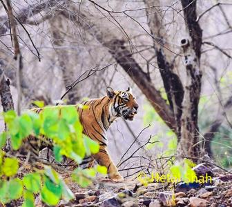Tiger diaries: How I spotted Kumbha and Laila in Ranthambore