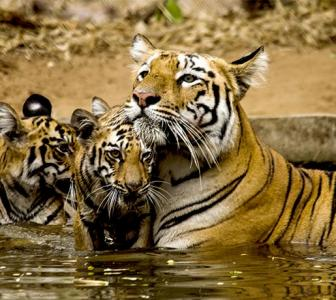 Tiger diaries: Lara and her cubs