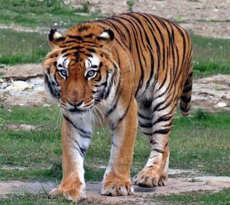 Why India should be worried even though tiger numbers are up