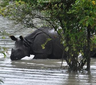 Protecting Kaziranga's rhinos from floods, poachers