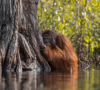 Why so shy, orangutan?