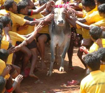 'Jallikattu can't be played without torturing bulls'
