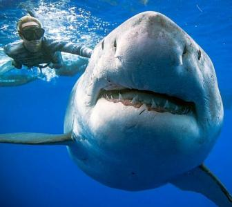 PHOTOS: Swimming with the 'biggest ever' Great White shark