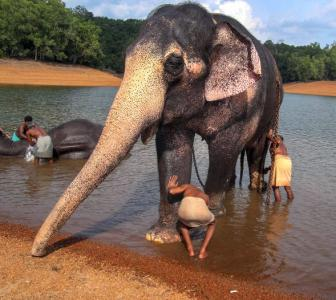 Pineapple filled with crackers kills elephant