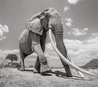 PHOTOS: Incredibly rare 'Elephant Queen' in Kenya