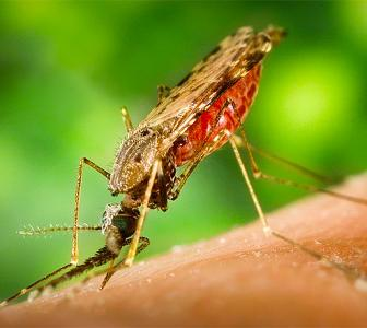 COVID-19 is not transmitted by mosquitoes, study shows