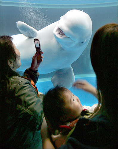A tourist takes photos of a beluga whale with her mobile phone at the Hakkeijima Sea Paradise in Yokohama, south of Tokyo.
