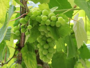 3. Tangy grapes