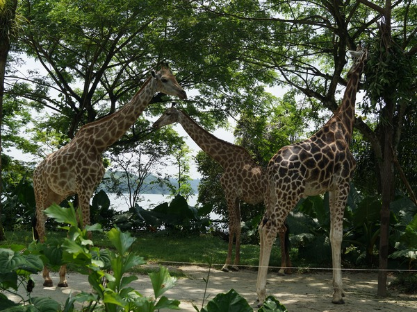 Giraffes at Singapore Zoo