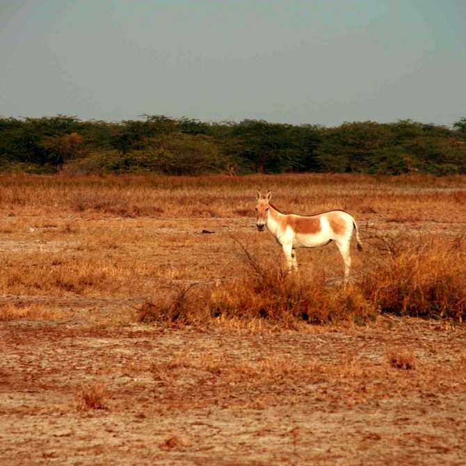Indian Wild Ass Sanctuary in the Rann of Kutch