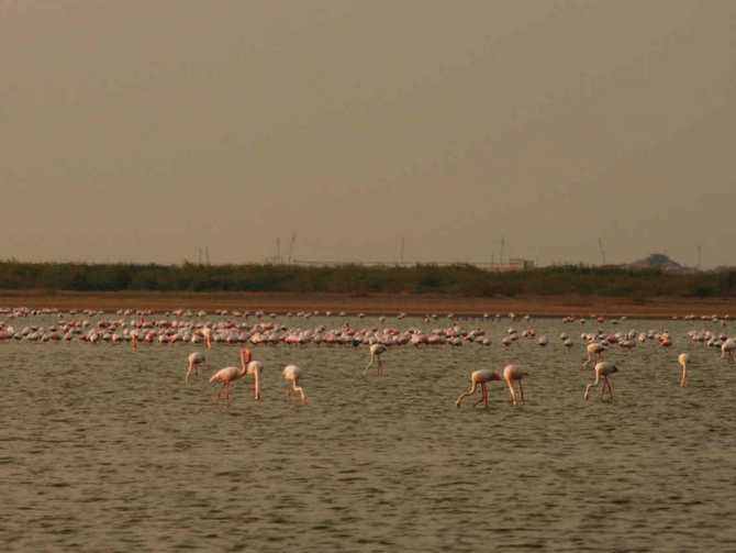 Flamingos inside the Indian Wild Ass Sanctuary in the Rann of Kutch.