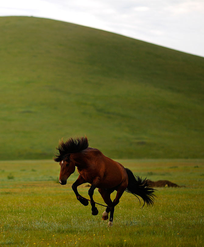 A horse is tied as part of its training to be a racing horse at an area of grasslands located 70km (43 miles) from the Mongolian capital city Ulan Bator