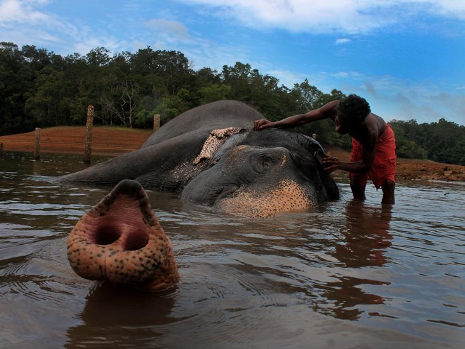 In captivity, the mahout is everything to the elephant.