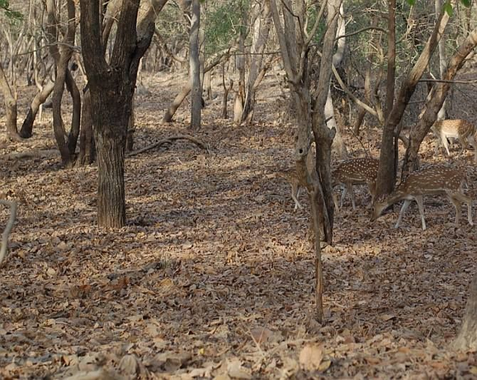 IMAGE: Among wildlife that is widely found in Gir, spotted deers top the list with forest guides estimating their numbers at about 200,000 across the 1412 sq km expanse