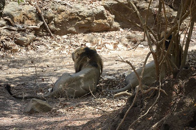 IMAGE: The two lions looked very tired as they walked towards the tourists and then lazed under the shade of a tree, breathing heavily.