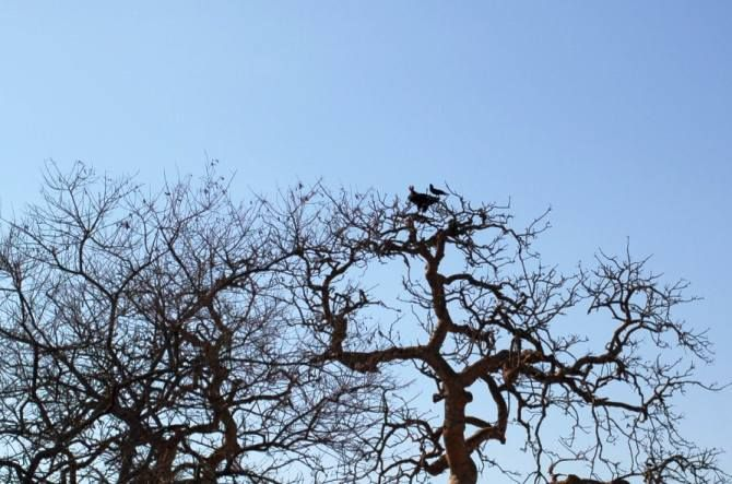 IMAGE: One of the rare sightings, Ketanbhai told us, is that of King Vultures.