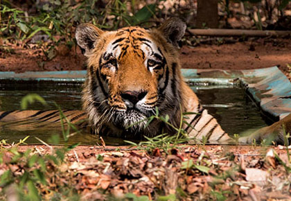 Tiger Diaries: Meet Wagdoh, the king of Tadoba