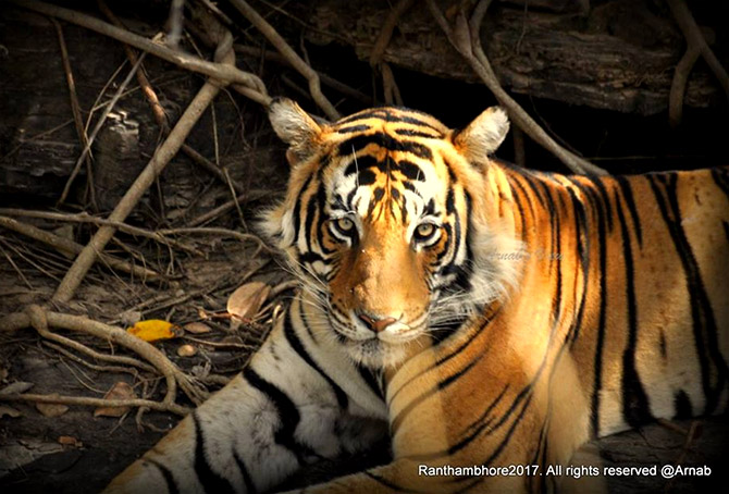 In pix: The crouching Bengal tiger
