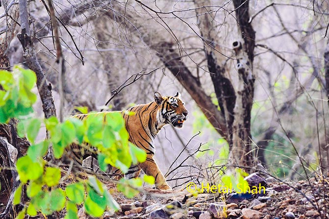 Tiger diaries from Ranthambore