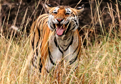 Latest News from India - Get Ahead - Careers, Health and Fitness, Personal Finance Headlines - Pix: Is this tiger smiling?