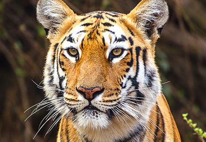 Latest News from India - Get Ahead - Careers, Health and Fitness, Personal Finance Headlines - Tiger diaries: Meet Maaya from Tadoba