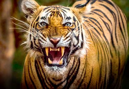 Latest News from India - Get Ahead - Careers, Health and Fitness, Personal Finance Headlines - Tiger diaries: Roaring pix from Ranthambore