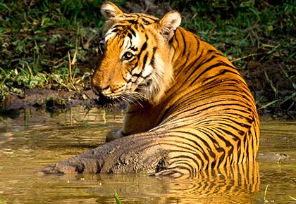 Latest News from India - Get Ahead - Careers, Health and Fitness, Personal Finance Headlines - In pix: The tigers of India