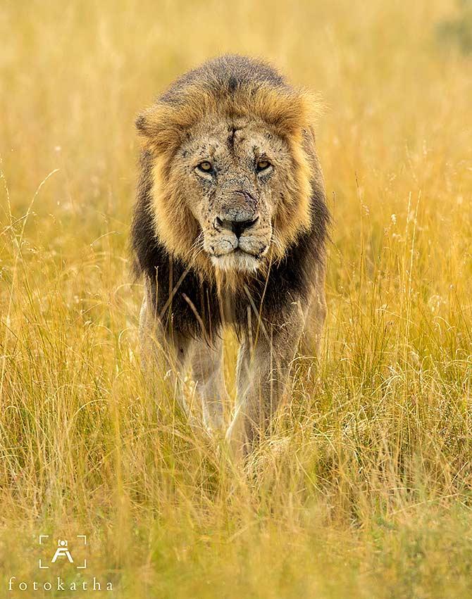 Meet the majestic lions of Maasai Mara