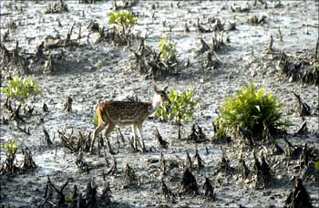 A deer walks on the mangroves of the Sunderbans tiger reserve.
