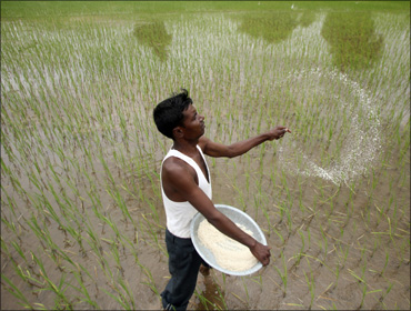 A farmer casts pesticides on his rice paddy field in Ahmedabad.