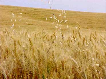 Wheat plants.