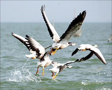 Migratory birds take off from Chilka Lake, 110 km (70 miles) from Bhubaneswar.