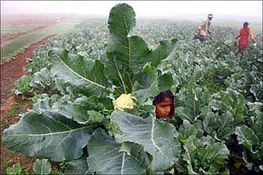 A farmer and his family work at their cauliflower field near Chandigarh.