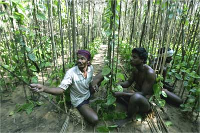 Farmers work in a betel leaf farm.