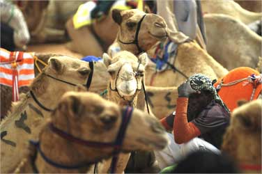 A Saudi camel rider waits for the start of a camel race on the outskirts of Riyadh.