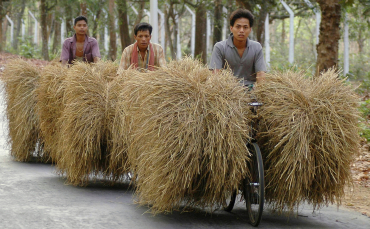 Farmers carry bundles of straw in Agartala.