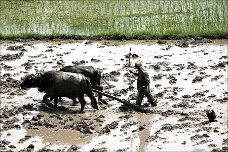 A farmer ploughs his paddy field.