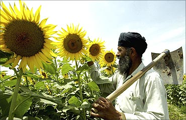 Kashmir Singh, 56, a farmer, inspects his sunflower crop in a field at Dharar village.