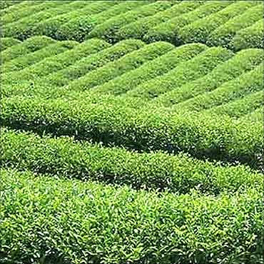 Tea garden in Assam.