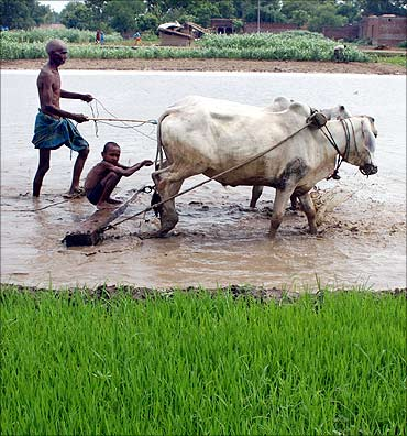 A farmer and his grandson plough a rice field in Gopalsarai village.