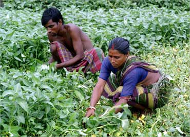A couple work in a vegetable field in Bantala, West Bengal.