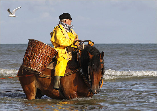 Belgian shrimp fisherman Maurius rides a carthorse to haul a net out of the sea after catching shrimp in Oostduinkerke.