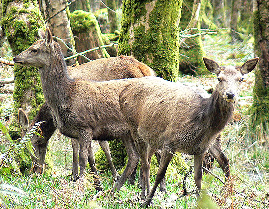 The red deer, Ireland's largest wild mammal in Killarney National Park.